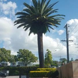 Pruned Palm
