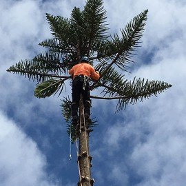 Norfolk Pine right up against a house